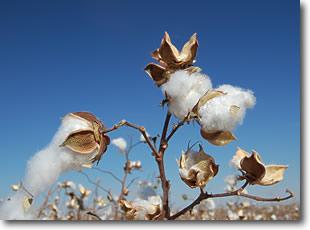 tucson cotton plant