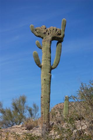 Pima Canyon Crested Saguaro