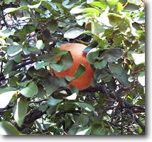 tucson grapefruit