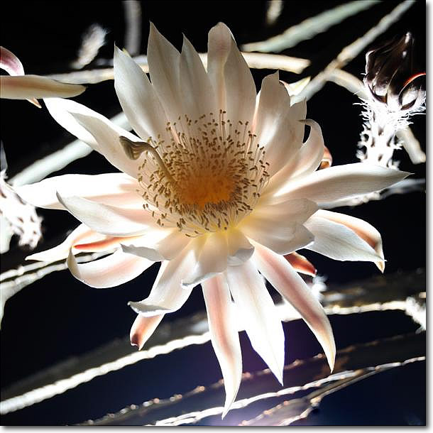 Tucson Night Blooming Cereus | Tucson Real Estate | Tucson AZ Real ...