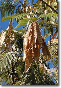 tucson mesquite pods