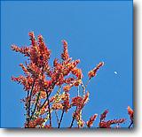 tucson ocotillo blooms