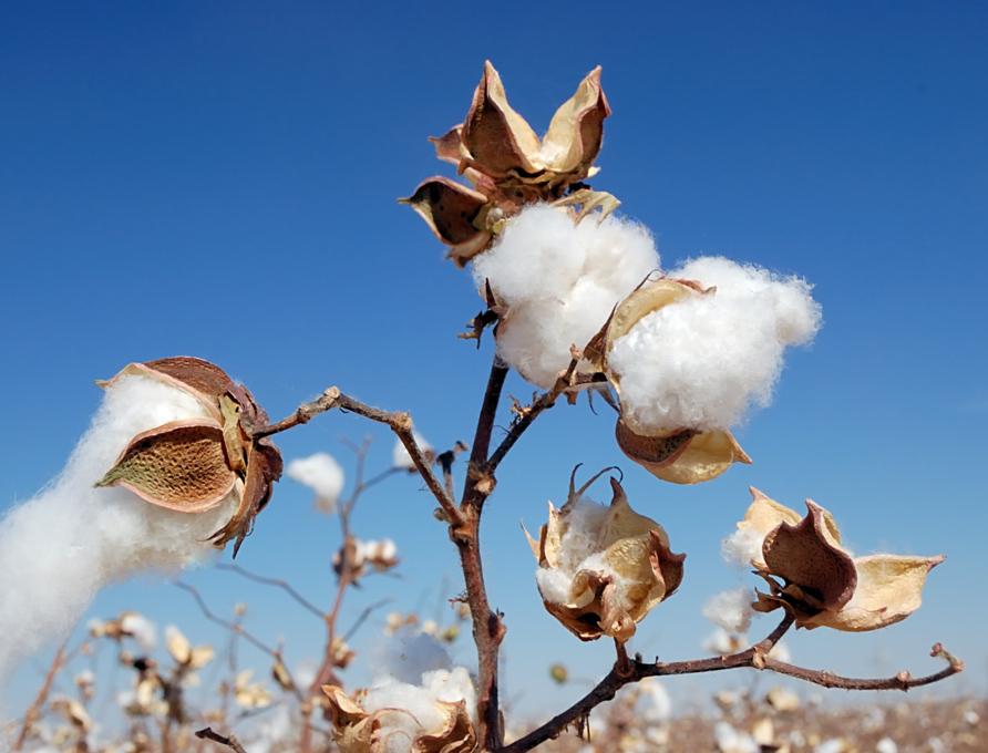 pima cotton on incastreasures.com