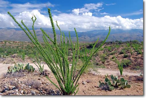 tucson ocotillo cactus